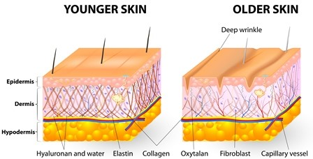 Difference Between Collagen and Elastin