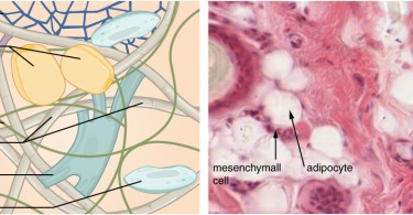 Difference Between Fibroblast and Fibrocyte