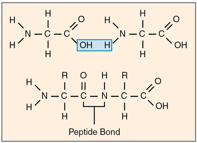 Main Difference - Glycosidic Bond vs Peptide Bond