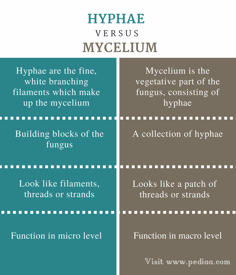 Difference Between Hyphae and Mycelium - Comparison Summary