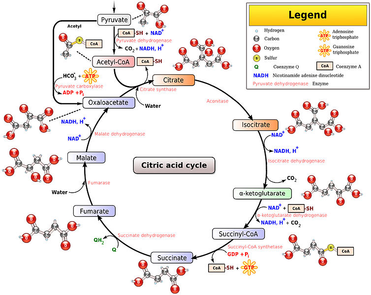 Main Difference - Krebs Cycle vs Glycolysis
