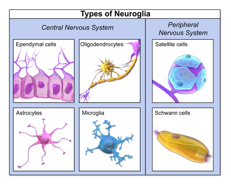 Difference Between Neurons And Neuroglia