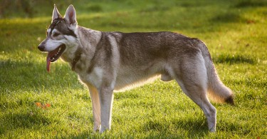 Difference Between Northern Inuit and Husky