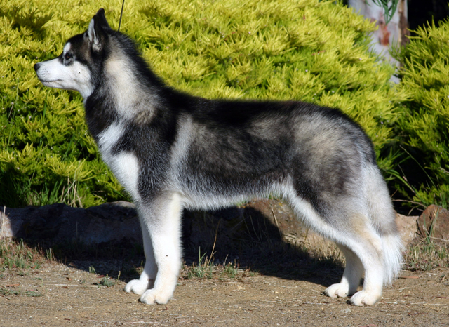 Main Difference - Northern Inuit vs Husky