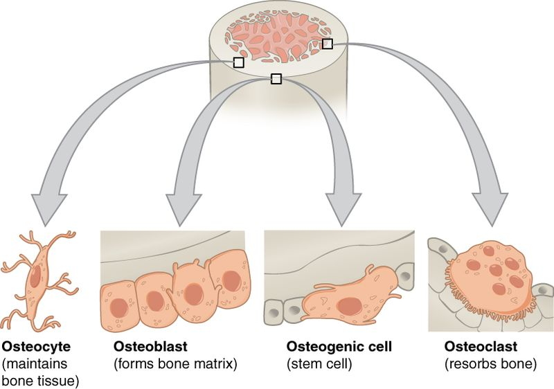 Difference Between Osteoblast and Osteoclast
