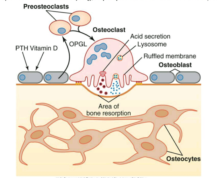 Main Difference - Osteoblast vs Osteoclast