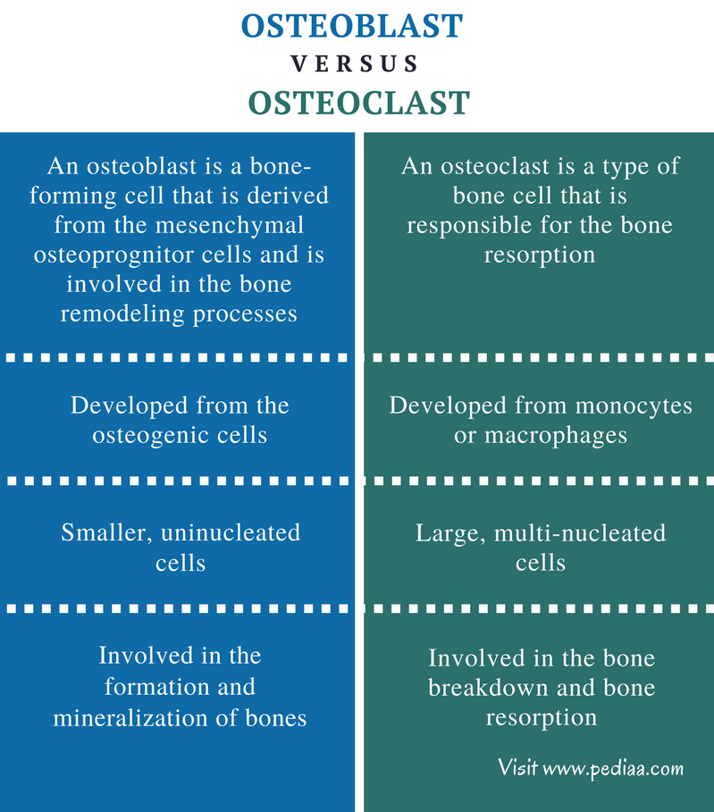 Difference Between Osteoblast and Osteoclast - Comparison Summary