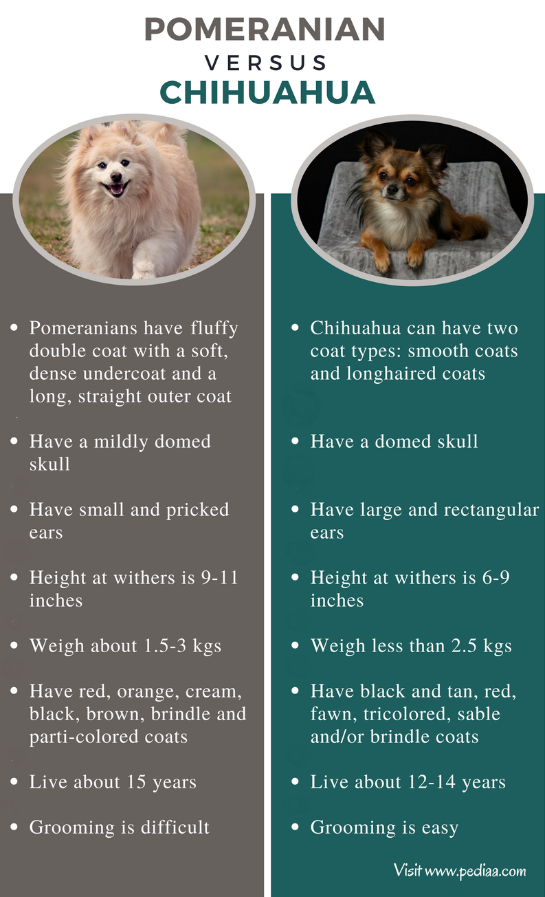 Difference Between Pomeranian and Chihuahua - Comparison Summary