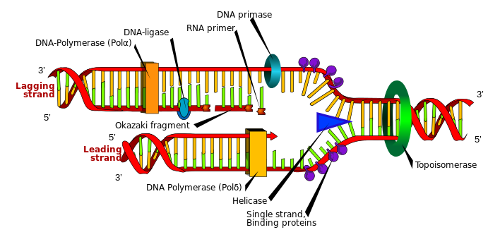 Main Difference - Prokaryotic vs Eukaryotic DNA Replication