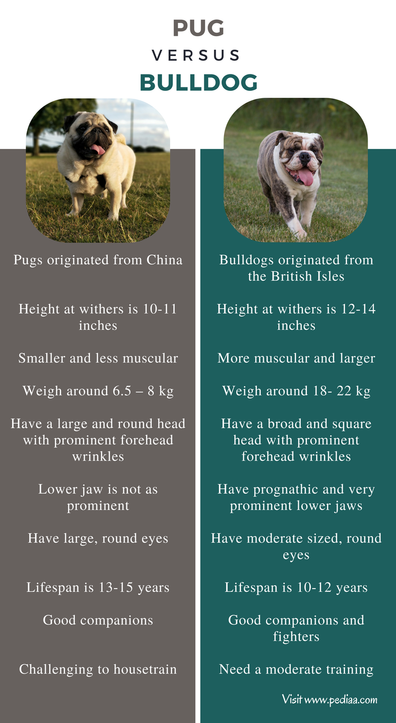 Difference Between Pug and Bulldog - Comparison Summary