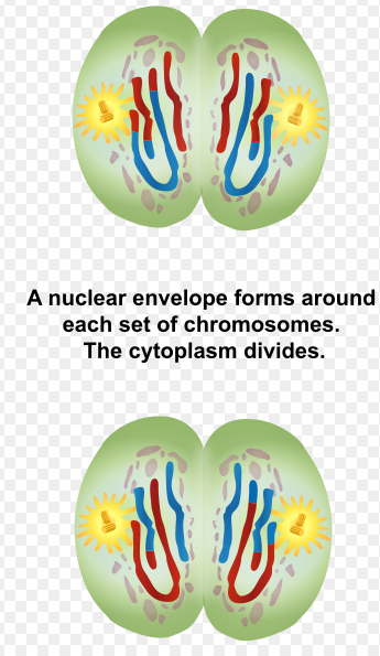 Difference Between Telophase 1 and 2