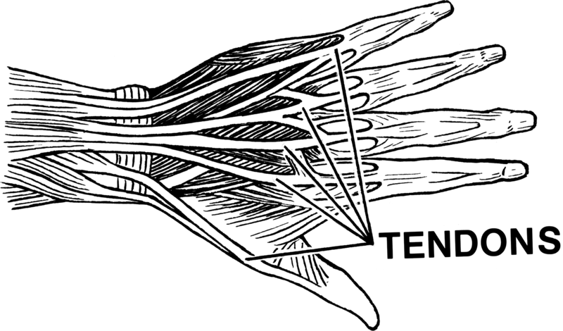 Main Difference - Tendon vs Ligament
