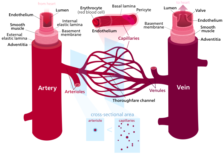 Main Difference - Veins vs Arteries