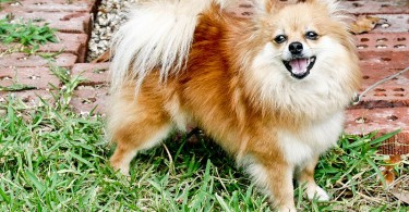 Difference Between Pomeranian and Chihuahua