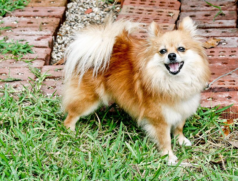 chiuaua and pomeranian difference between pomeranian and chihuahua facts 6656