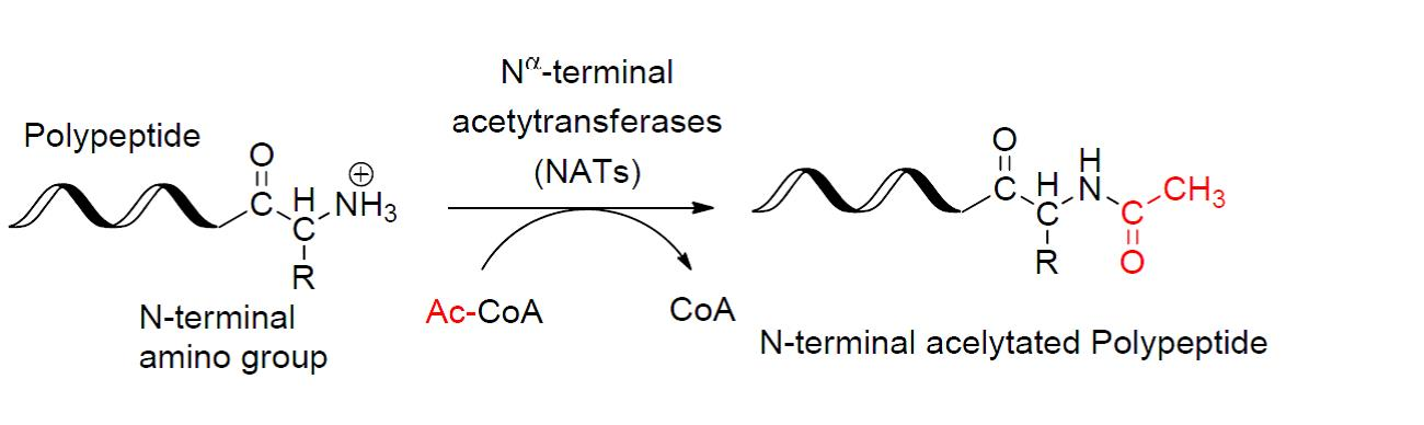 Difference Between Acetylation and Methylation