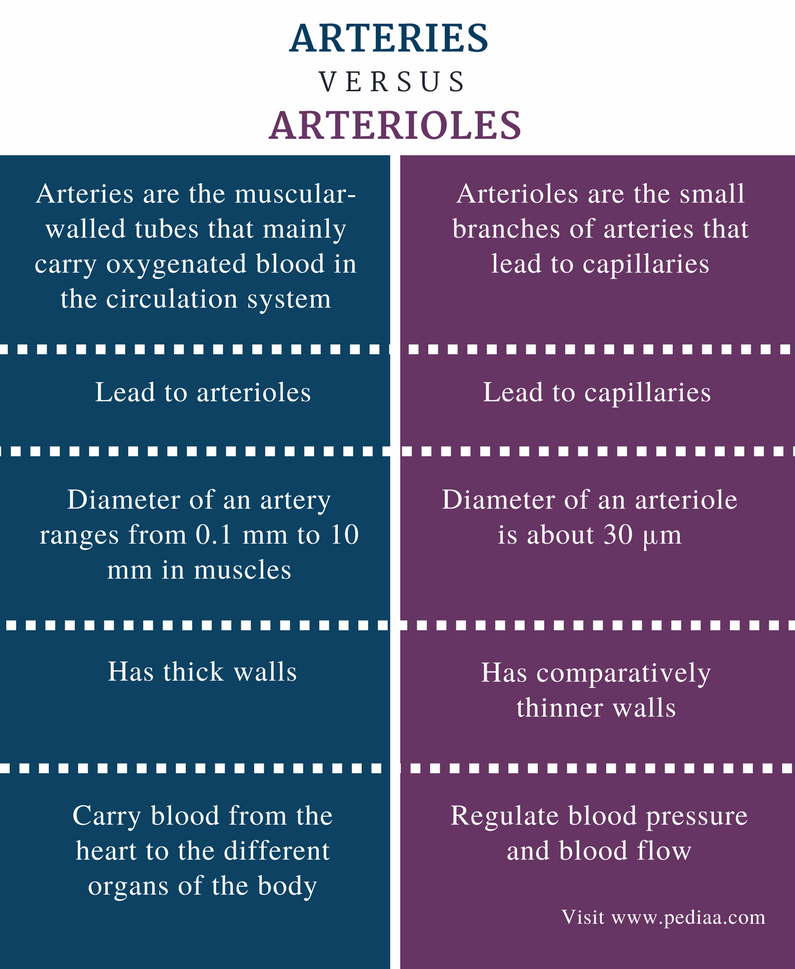 Difference Between Arteries And Arterioles Definition