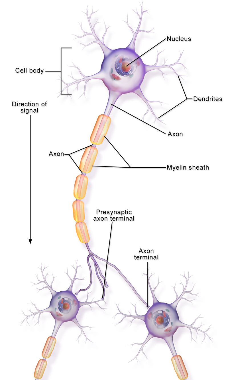 Difference Between Axon and Dendrite