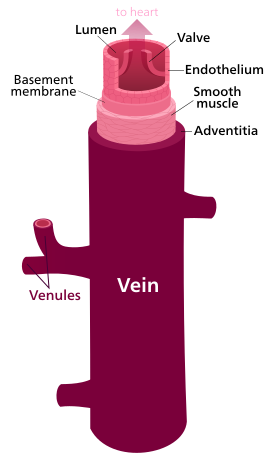 Difference Between Capillaries and Veins_Figure 5