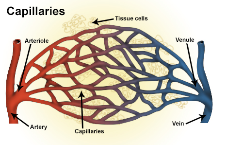 Difference Between Capillaries and Veins_Figure 4