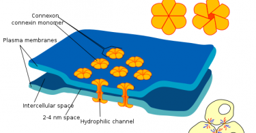 Difference Between Chemical and Electrical Synapse