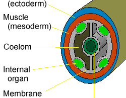 Difference Between Coelomate and Pseudocoelomate