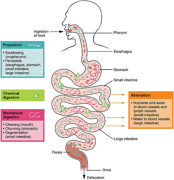 Difference Between Digestion and Absorption | Definition ...