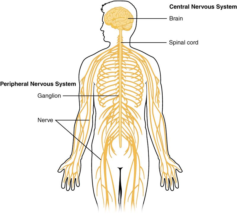 Difference Between Endocrine And Nervous System Definition