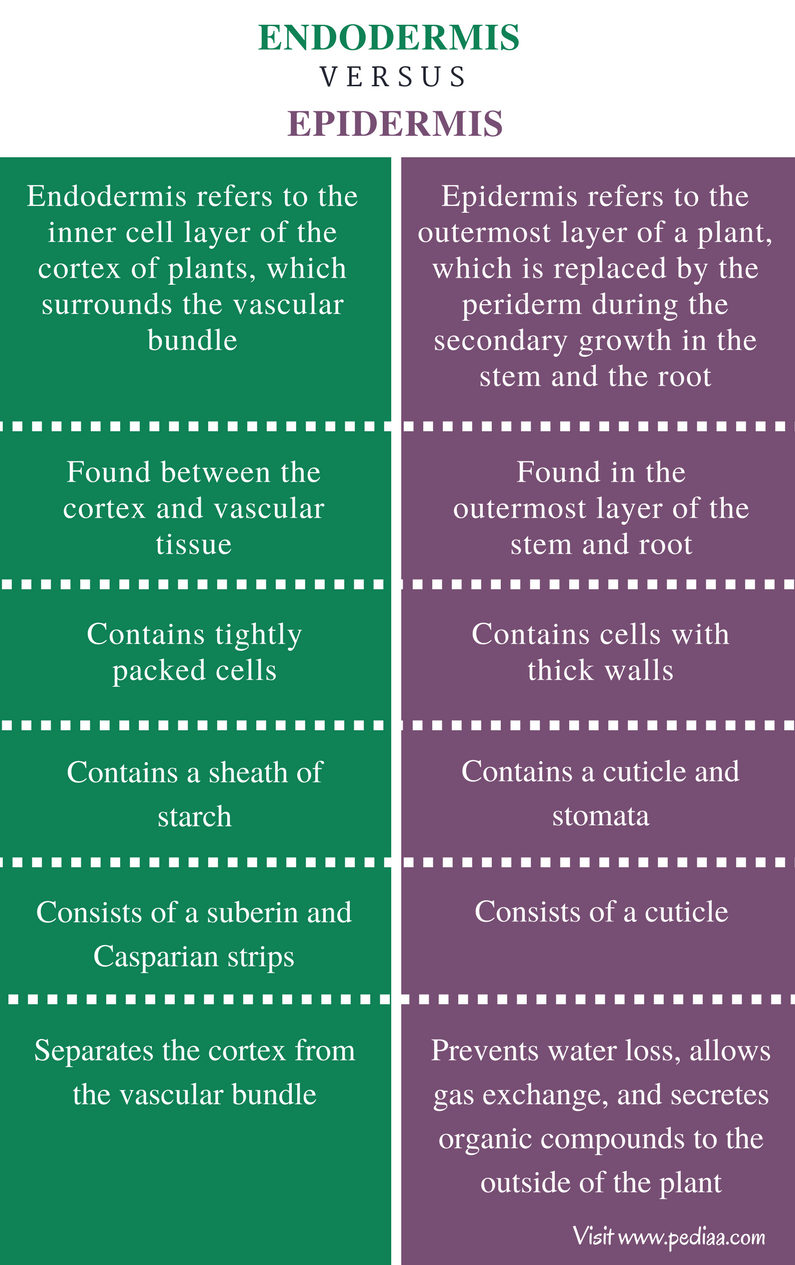 Difference Between Endodermis and Epidermis - Comparison Summary