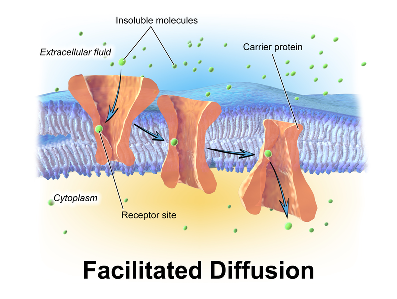 Main Difference - Facilitated Diffusion vs Active Transport