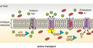 Difference Between Facilitated Diffusion and Active Transport