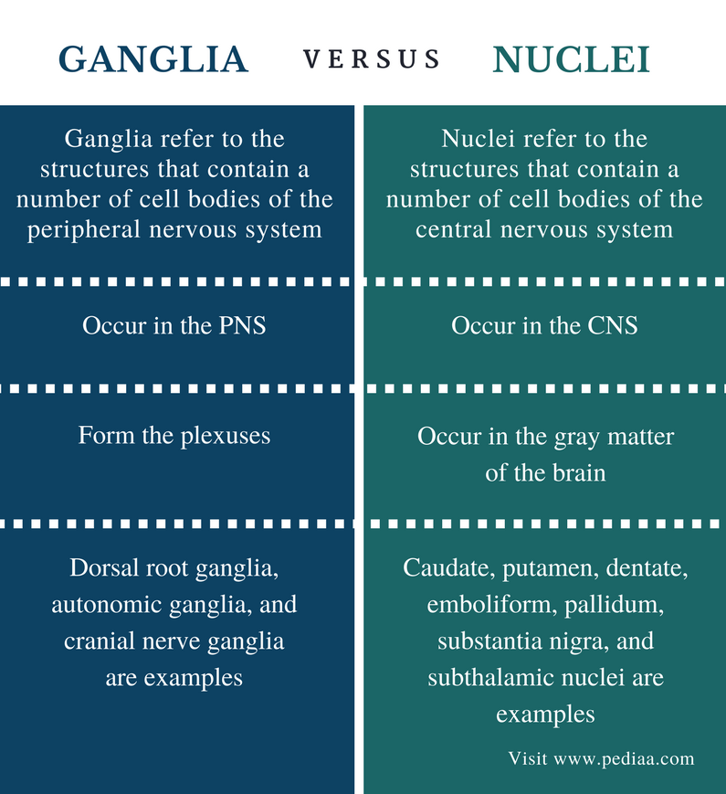 Difference Between Ganglia and Nuclei - Comparison Summary