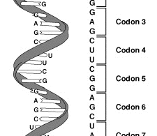 Difference Between Genetic Code and Codon