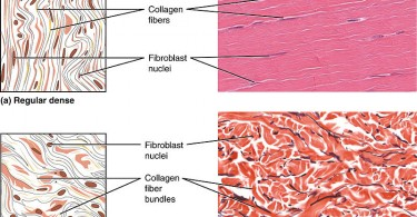 Difference Between Loose and Dense Connective Tissue