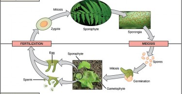 Difference Between Mosses and Ferns