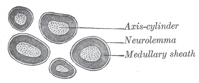 Main Difference - Neurilemma vs Myelin Sheath