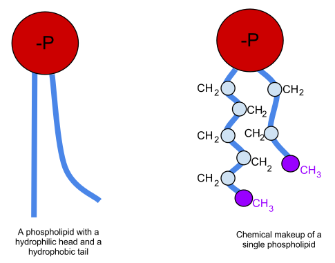 Difference Between Phospholipid and Triglyceride
