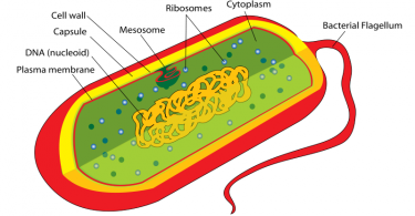Difference Between Plant Cell and Bacterial Cell - 1
