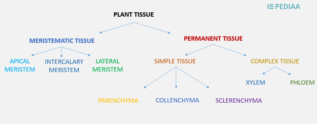 Difference Between Plant and Animal Tissue_Figure 1
