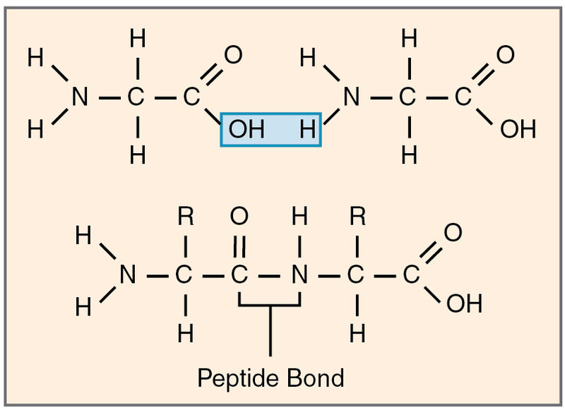 Main Difference - Polypeptide vs Protein