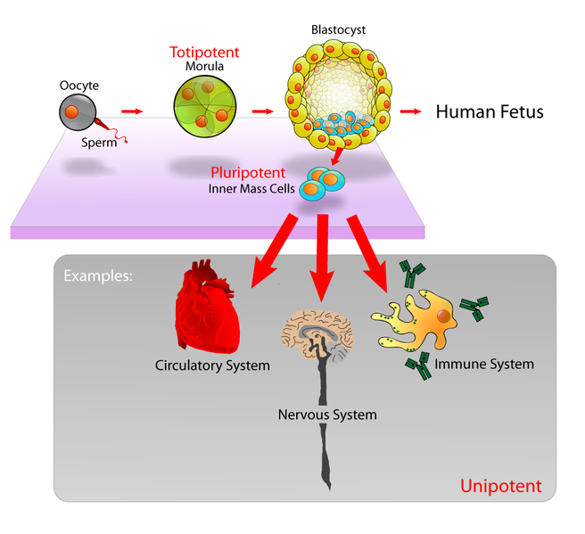 Main Difference -  Progenitor Cells vs  Stem Cells