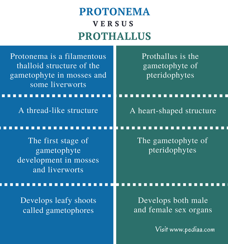 difference between protonema and prothallus definition