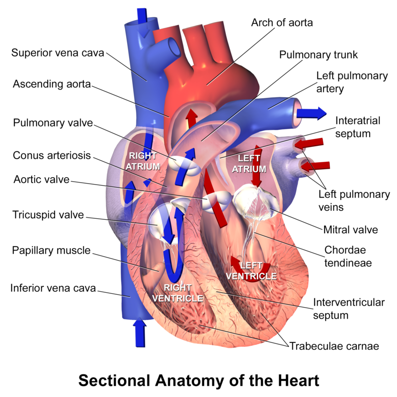 Main Difference -  Pulmonary Artery vs Pulmonary Vein