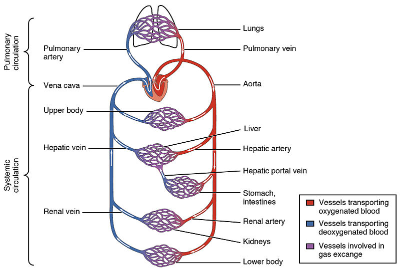 Main Difference - Pulmonary vs Systemic Circulation