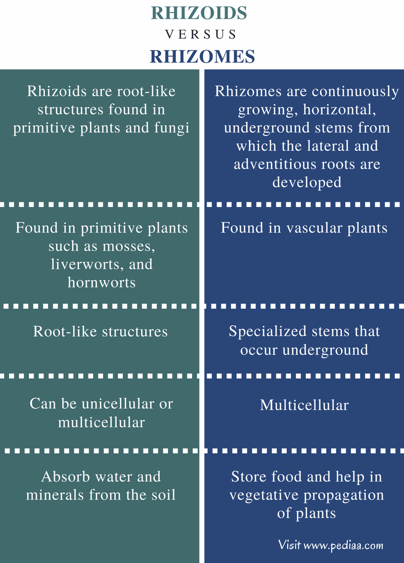 Difference Between Rhizoids and Rhizomes - Comparison Summary