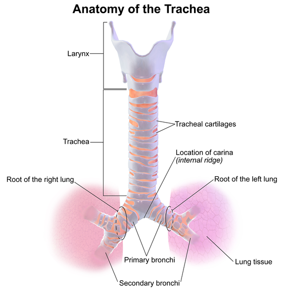 Difference Between Trachea and Esophagus