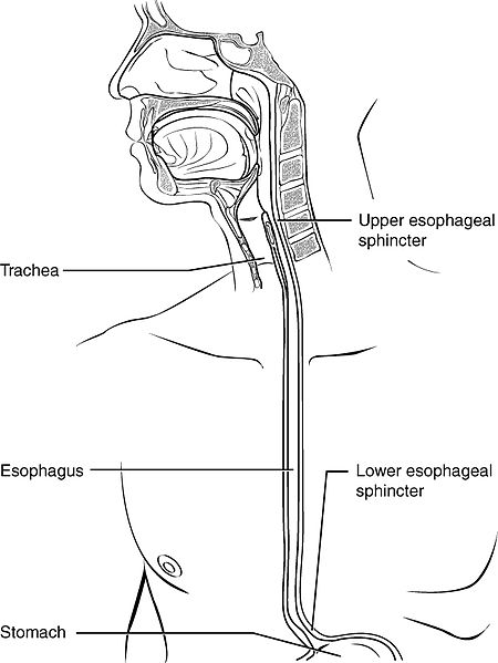Main Difference - Trachea vs Esophagus