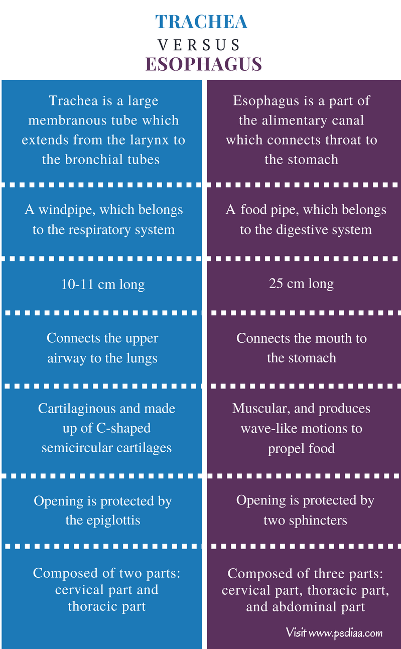Difference Between Trachea and Esophagus - Comparison Summary
