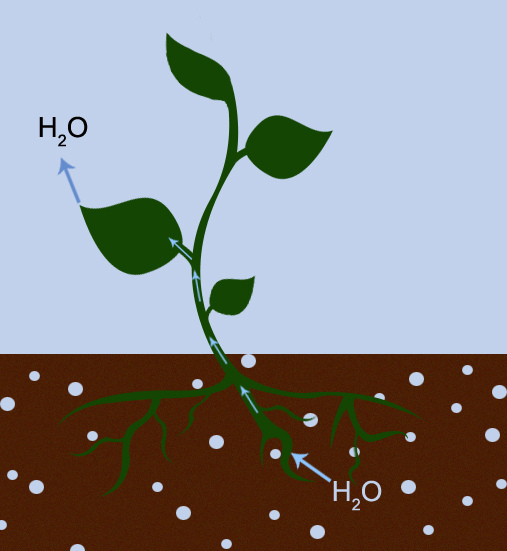 Difference Between Transpiration and Translocation