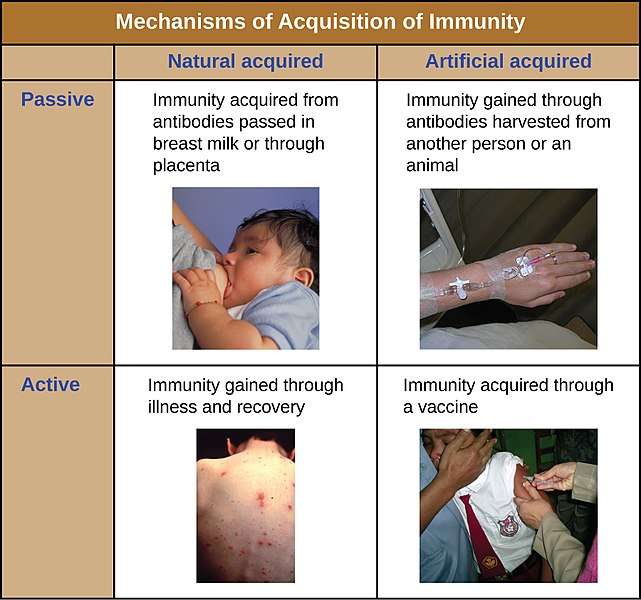 Main Difference - Active vs Passive Immunity